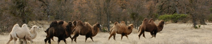 camel-herd-header1