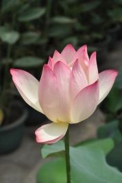lotus-142028