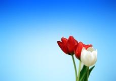 tulips-65036(1)