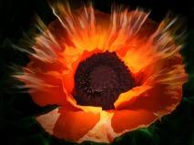 poppy-761122_1280